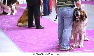 race, moscou, participates, exposition, chien garde, chiens