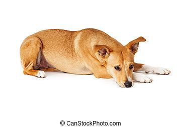 race, pose, chien, triste, bas, mélangé