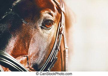 racehorse., schöne , porträt, bucht