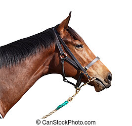 Racehorse with Halter - A racehorse isolated with clipping ...