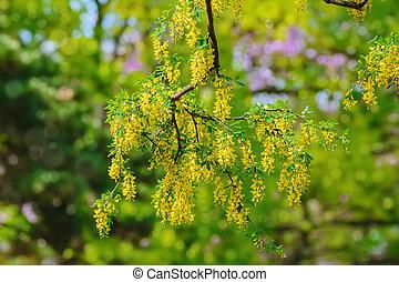 Common Laburnum Flowers