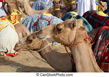 Racing camels in Doha, Qatar, Middle East