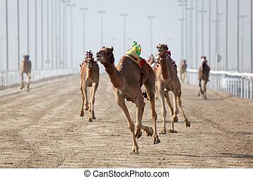Racing camels with a robot jockey, Doha Qatar