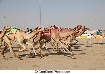 Racing camels with a robot jockeys, Doha Qatar