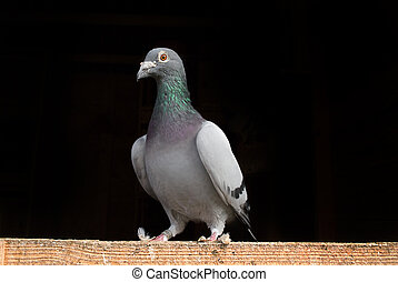 Racing Pigeon perched on wood.