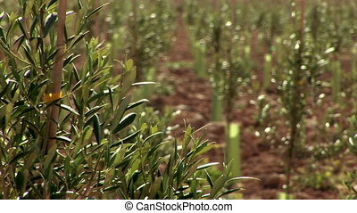 Rack focus from olive branches to infant trees on olive field