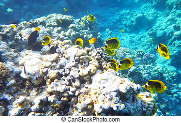 Racoon butterfly fish underwater red sea
