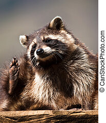 racoon (lat. Procyon lotor), ready to scratch himself with...