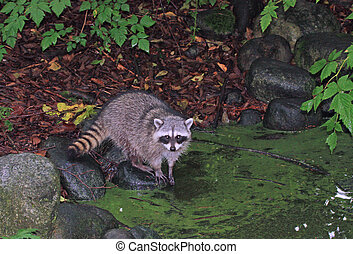 racoon washing up - raccoon washing hands in forest pool