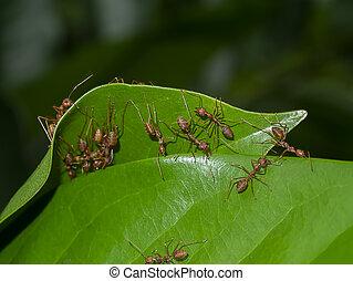 rad, feuille, unité, nests., bâtiment, fourmis