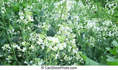 raddish plants with flower