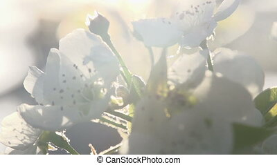 Radiance Blossoming Spring - Pear flowers close up in bright...