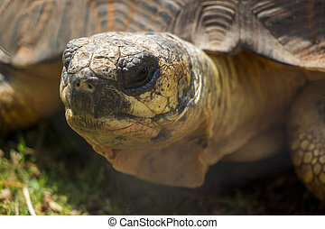 Radiated Tortoise Close Up Portrait 1