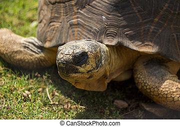 Radiated Tortoise Close Up Portrait 2