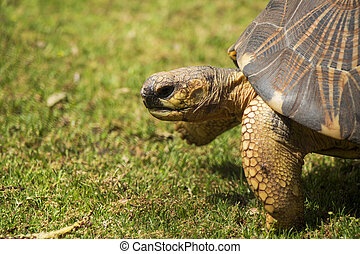 Radiated Tortoise Close Up Portrait 4