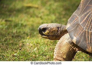 Radiated Tortoise Close Up Portrait 5