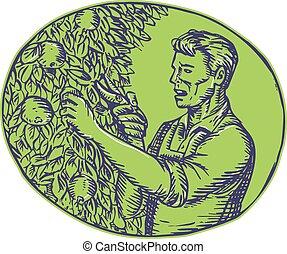 radierung, pflaumenbaum, oval, orchardist, garnierung