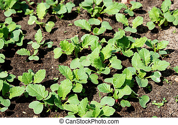 radijzen, lente, jonge, zon, spruiten, seedlings.