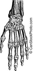 Radiocarpal joint, carpal bones them, carpometacarpal and hand (dorsal), vintage engraved illustration. Usual Medicine Dictionary - Paul Labarthe - 1885.