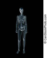 radiografía, body., radiografía, hembra, humano