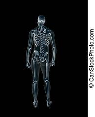 radiografía, body., radiografía, humano, macho