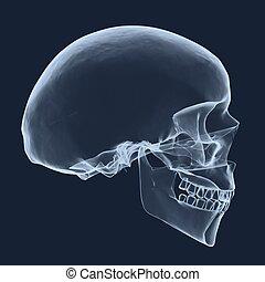 radiografía, cabeza, cráneo humano