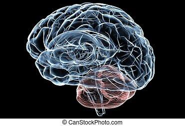 radiografía, cerebro