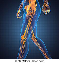 radiografía, humano, exploración