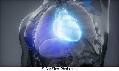 radiologie, examen, coeur humain