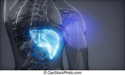 radiologie, foie, humain, examen
