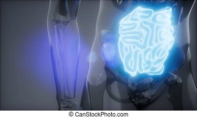 radiologie, intestin, examen, petit, humain