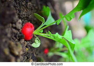 Radish - Detail of one radish in garden. Vegetable...