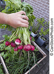 radish from biological garden