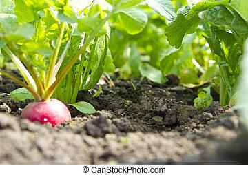 radish growing