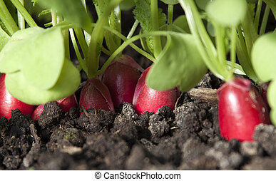 Radish grows in the ground.