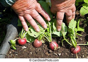 Radish - Ripe radish in the garden-bed