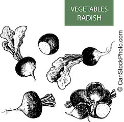 Radish. Set of hand drawn illustrations.