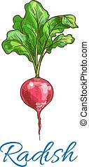 Radish vegetable vector isolated sketch icon