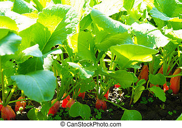 Radishes growing in soil