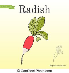 Radishes with leaves, vegetable collection