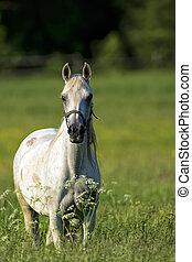 radura, cavallo