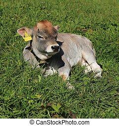 Raetisches Grauvieh calf sleeping on a green meadow