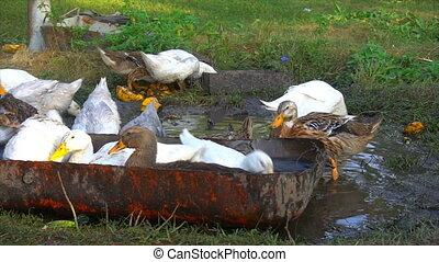 Raft of domestic ducks having a bath close up - Raft of...