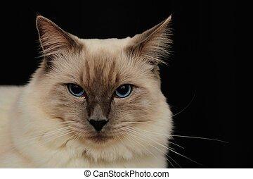 rag doll cat #1