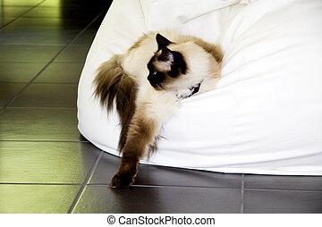 Rag doll cat - A rag doll cat is laying in a fat boy sofa