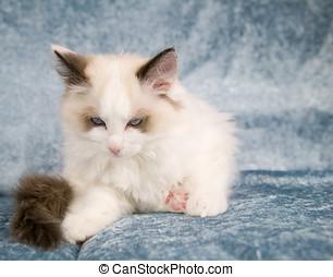 ragdoll , γατάκι