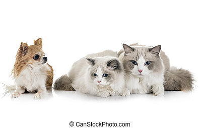 ragdoll, 고양이, 와..., chihuahua