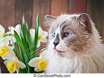 Ragdoll cat breed and a vase of narcissus on a wooden...