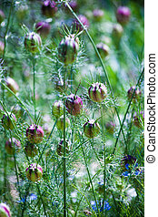 ragged lady plant closeup background natural medicine