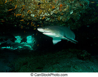 Ragged Tooth Shark in a cave, in the Indian Ocean, off the...